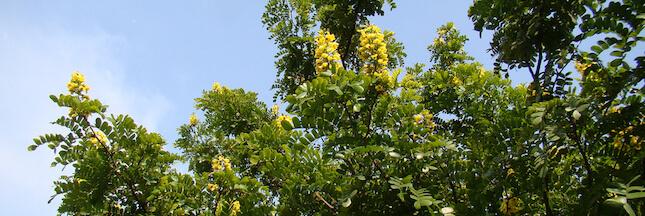 Le pernambouc, un bois étonnant