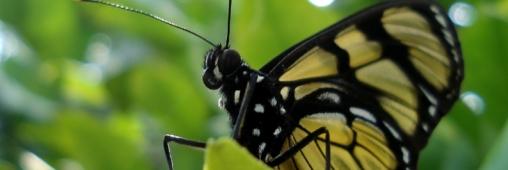 Comptez les papillons de votre jardin !