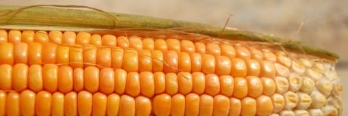 Un projet AMAIZING pour la filière maïs française