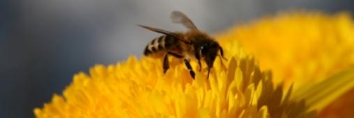 Un pesticide pour expliquer l'effondrement des colonies d'abeilles?