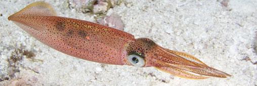 L'encornet, produit de la mer à consommer sans culpabiliser