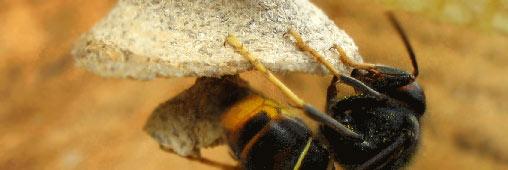 Le frelon asiatique, classé «espèce nuisible»