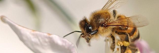 Pesticides et abeilles: l'UE doit se décider