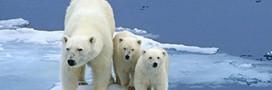 Faut-il interdire la chasse à l'ours polaire ?