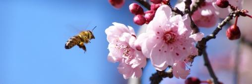 Interdiction de 3 pesticides: les abeilles sont-elles gagnantes?