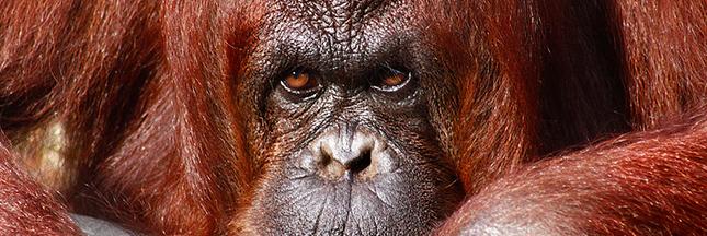 Pétition: orangs-outans vs mines et huile de palme