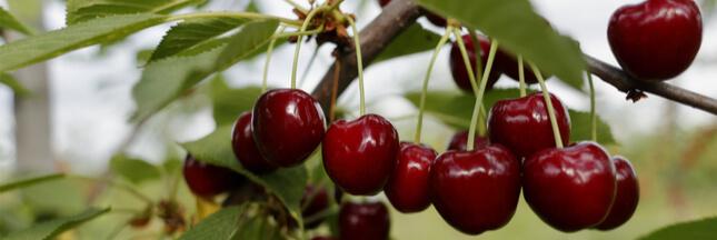 Fruit de saison: Bien choisir les cerises