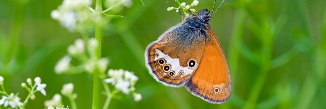 La lente extinction des papillons, en images