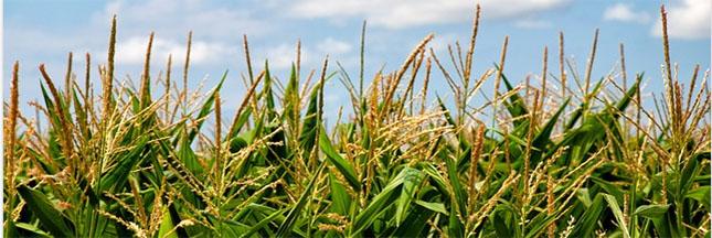OGM: les mauvaises herbes font de la résistance
