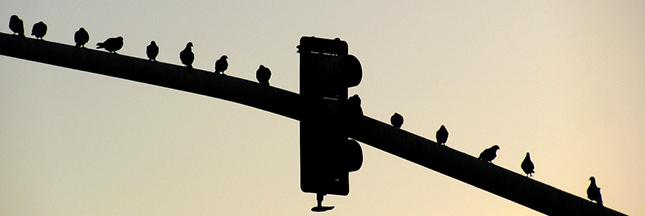 Oiseaux: ils respectent aussi les limites de vitesse