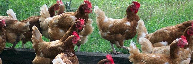 Le poulet de Loué passe à l'éolien