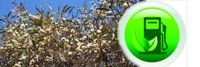 Biocarburants à partir de mallee: l'avenir de la production énergétique?