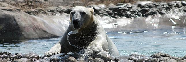 Chasse et fonte des glaces mènent la vie dure aux ours polaires