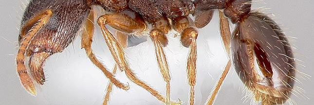 Des armées de fourmis nettoient discrètement… New York!