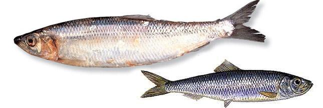 Comment bien choisir son poisson?