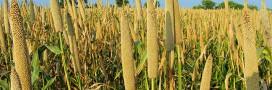 millet céréale sans gluten