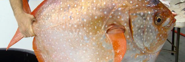 Opah: découvrez le premier poisson au sang chaud