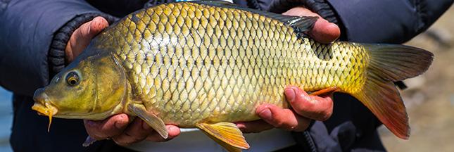 Guide des poissons – Peut-on consommer la carpe?