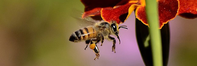 abeilles plantes caféine