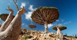 Diaporama: l'île de Socotra, un écrin de biodiversité