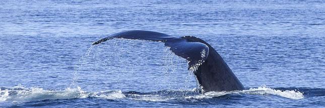 Le Japon relance la chasse à la baleine