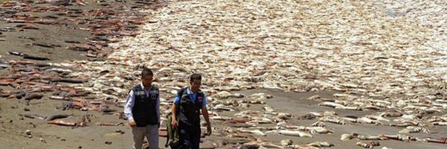Une dizaine de milliers de calamars géants s'échouent sur une plage du Chili