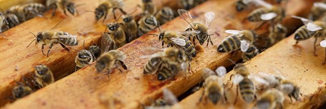 Le miel de Manuka, nectar aux vertus exceptionnelles
