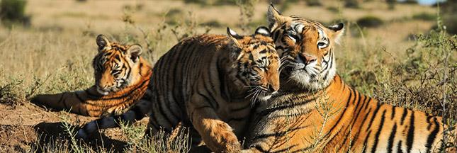 La population de tigres augmente pour la première fois depuis un siècle