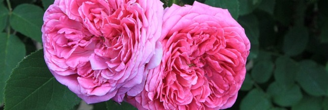 La rose de Damas, la reine des parfums victime des conflits