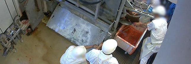 Scandale dans les abattoirs: une nouvelle vidéo choc sur la maltraitance animale
