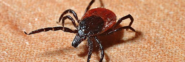 Borréliose de Lyme: la maladie chronique que vous risquez d'attraper cet été