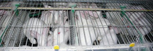Élevage de lapins: une association dévoile des images choquantes
