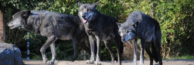 Norvège: l'abattage massif des loups est annulé