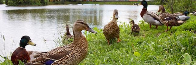Grippe aviaire: 1 million de canards seront abattus