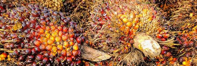 Des chercheurs ont trouvé une alternative à l'huile de palme