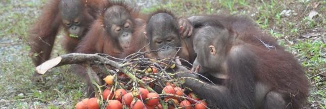 Sauver les orangs-outans de Bornéo, le combat quotidien de la BOSF
