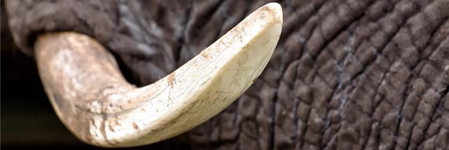 Trafic d'espèces sauvages: les saisies douanières sont en hausse