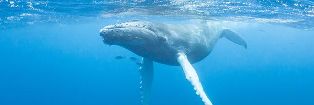 Les baleines souffriraient-elles trop de l'activité humaine?