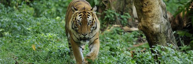 Des tigres à l'état sauvage découverts en Thaïlande