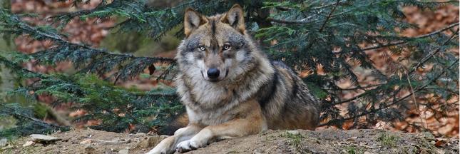 Faut-il abattre plus de loups?
