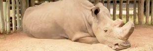 Sudan, le dernier rhinocéros blanc mâle avait un profil sur Tinder
