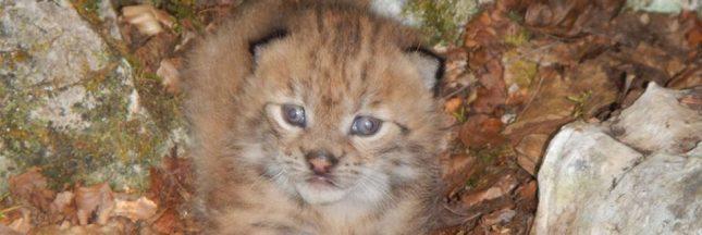 Ce bébé lynx est un espoir pour la survie du plus rare félin d'Europe