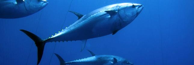 Le thon rouge fait son grand retour en Méditerranée