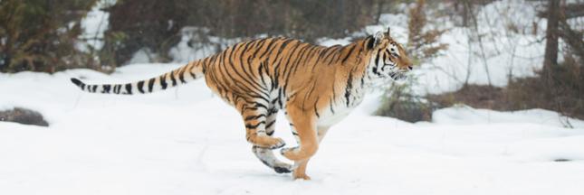 Tigres, ours: les attaques d'animaux sauvages se multiplient
