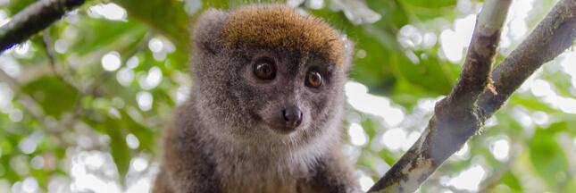Le changement climatique affame les lémurs bambou de Madagascar