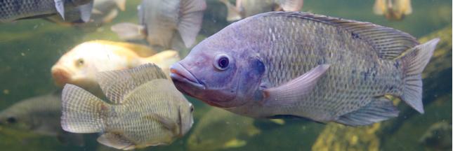 Tilapia: le poisson le plus consommé au monde contaminé par un virus