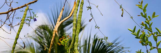 Les graines de Moringa pour purifier l'eau contaminée