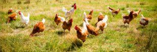 'Poule-emploi': devenez éleveur de poules avec Cocorette