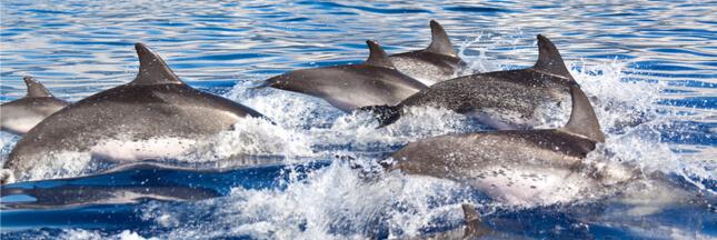 Les dauphins de la Méditerranée obligés de voler les pêcheurs pour se nourrir