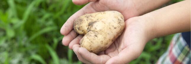 Jardinage à faire en avril: planter des pommes de terre